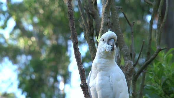 Thumbnail for Cockatoo in a tree at the Dandenong ranges