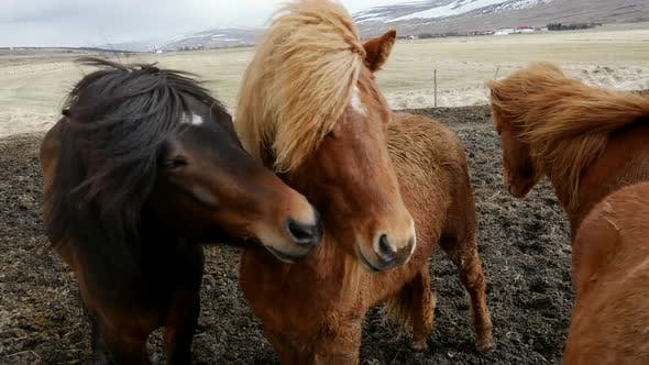 Thumbnail for Group Icelandic horses close together