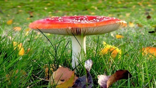 Cover Image for Autumn Fly Agaric - HD Loop