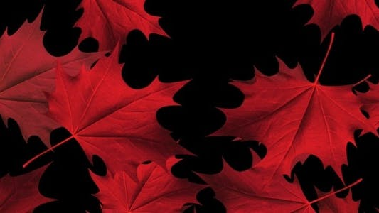 Thumbnail for Red Maple Leaves Loop - Full HD