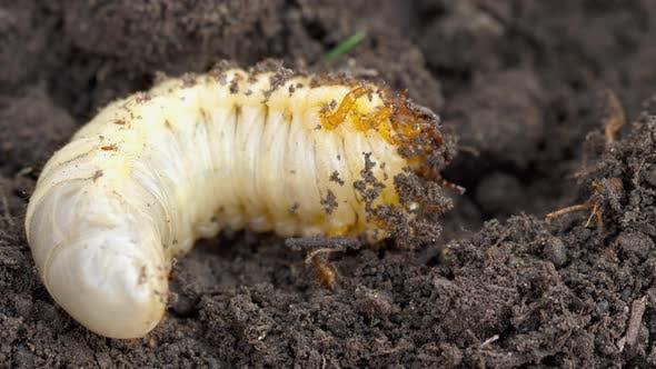 Thumbnail for May Bug Larva in Soil