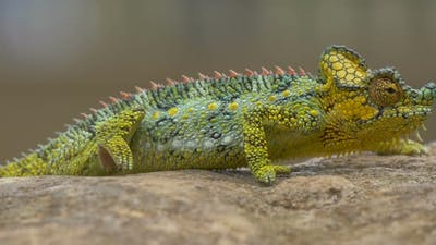 Close up view of a chameleon