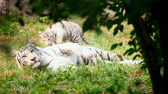 Thumbnail for White Tigress And Cub