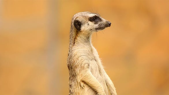 Cover Image for Meerkat