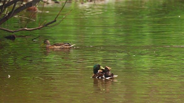 Thumbnail for Ducks