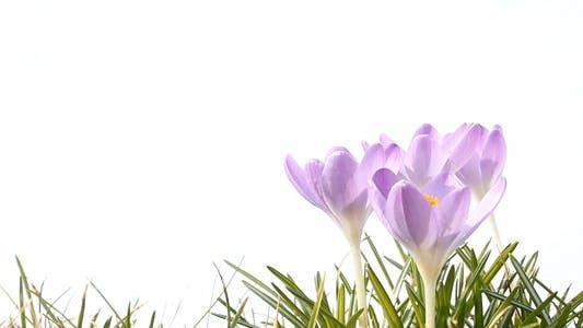 Thumbnail for Purple Crocus