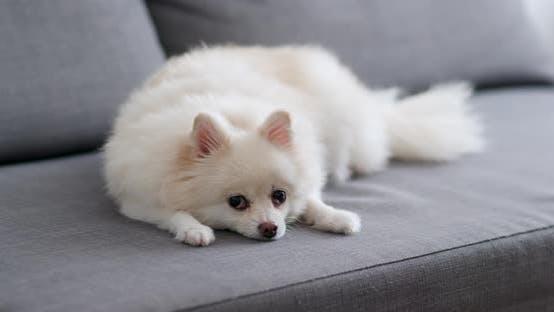 Thumbnail for White Pomeranian Dog Lying on Sofa