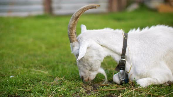 Thumbnail for Lying Goat Eating Green Grass on Farming Meadow. White Horned Goat Chewing Fresh Grass on Rural