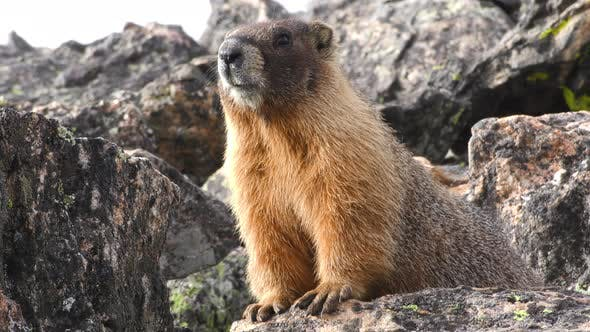 Thumbnail for Yellow-bellied Marmot Looking Around on Rock in Rockpile in Rocky Mountains
