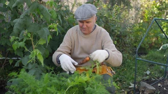 Thumbnail for Elderly Caucasian Man Harvesting Carrots at Vegetable Garden
