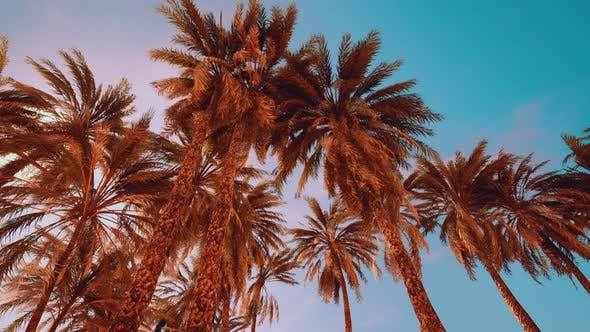 Palm Trees at Sunset Light and Sky