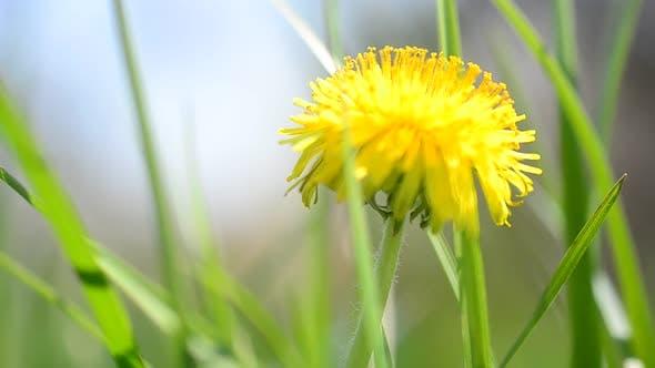 Dandelions in the Spring 4