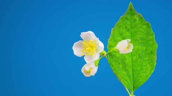 Thumbnail for White Jasmine Flower Opening