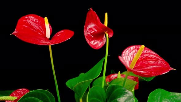 Thumbnail for Time Lapse of Opening Red Anthurium Flower