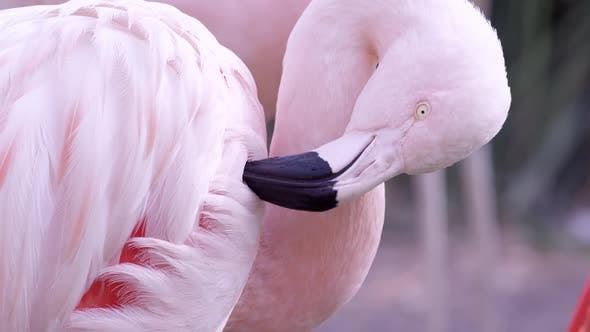 Up close view of flamingo gooming itself