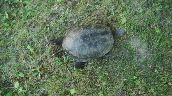 Thumbnail for Turtle With a Tail is Crawling on the Grass