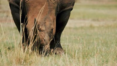 Rhino in Savanna