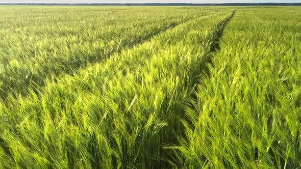 Green Barley Stems Grow on Endless Field with Wheels Traces