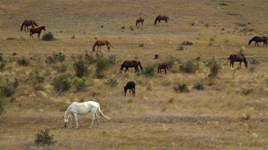Thumbnail for Wild Horses Graze On Dry Hills