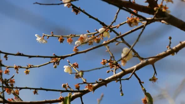 Thumbnail for Apricot Flower