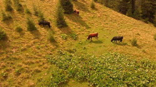 Cows Grazing on Mountains Pasture on a Summer Day