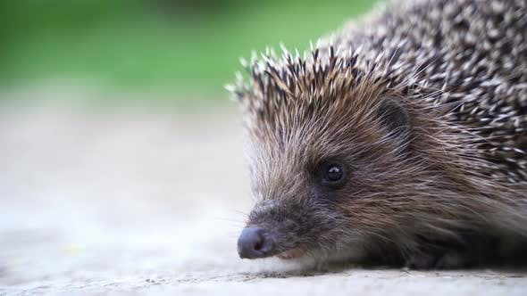 Hedgehog in Green Grass Goes or Crawls