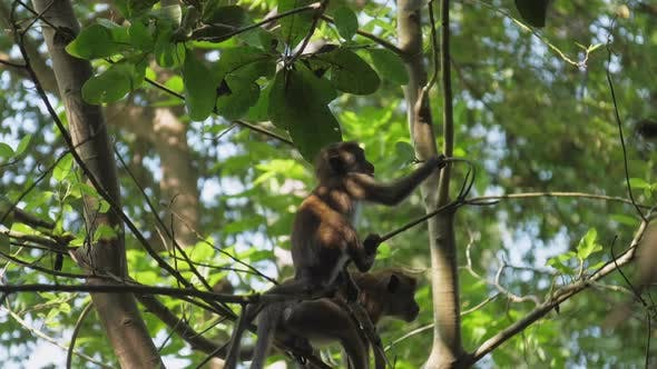 Monkeys Sit on Tree and Catch Branches Looking for Food