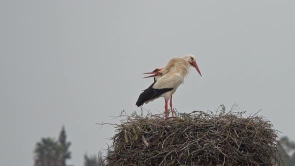 Thumbnail for White Storks Banging Beaks in a Nest, Portugal
