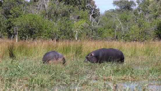 Hippo Botswana Africa Safari Wildlife