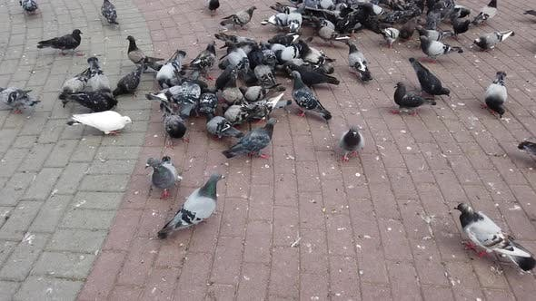 Wild pigeons on a park path in the city.