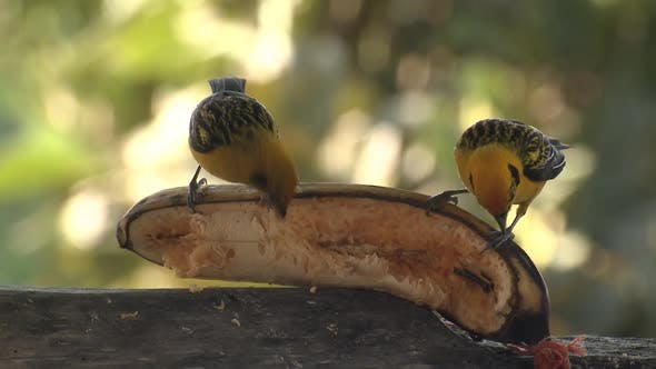 Thumbnail for Golden Tanager Songbird Pair Birds Eating Banana Fruit in Ecuador