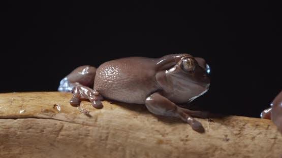 Cute Brown Tree Frog is Sitting on Top of a Tree Branch Studio Footage