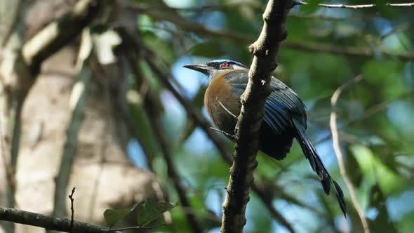 Thumbnail for Colorful Motmot Bird in its Natural Habitat in the Forest Woodland