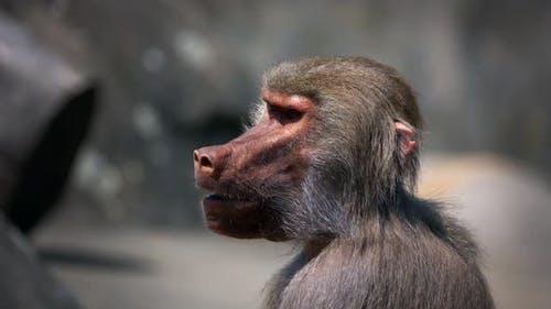 Mammal Animal Chimp 2