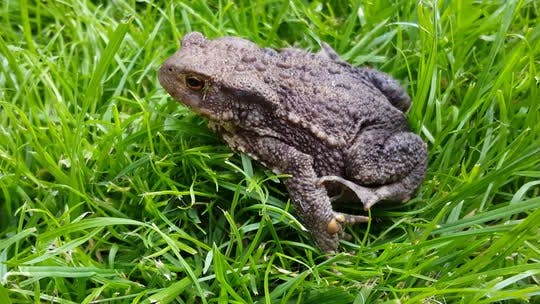 Thumbnail for Close up from a Common toad