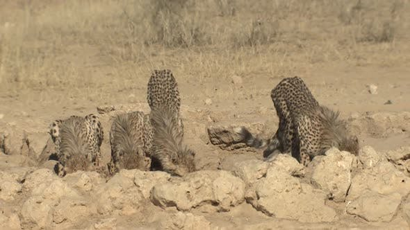 Thumbnail for Cheetah Female Adult Young Family Drinking Water Dry Season Waterhole Spring