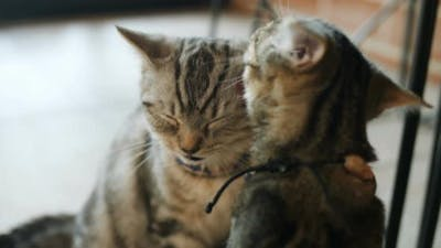 Lovely tabby cats licking each other.