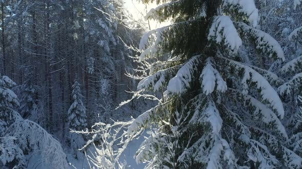 Thumbnail for Snow Covered Trees in Forest