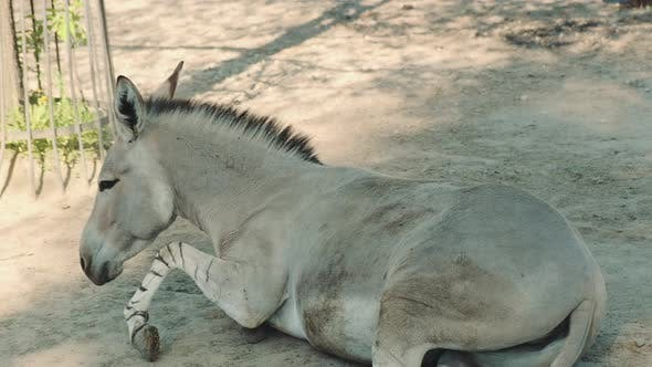 Somali Donkey Rolling Over and Fluttering Its Ears