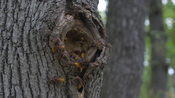 Thumbnail for Dangerous European hornet Vespa crabro nest in  tree hole  entrance  4K 2160p UHD footage - Scary hi