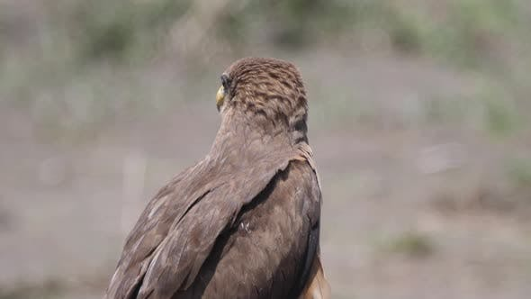 Thumbnail for Close up from a Yellow billed kite