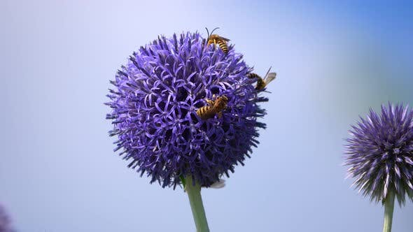 Thumbnail for Insect Bee On Purple Flower
