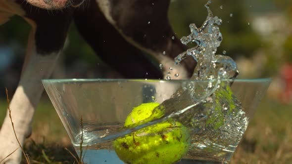 Thumbnail for Dog taking a ball from a bowl with water, Ultra Slow Motion