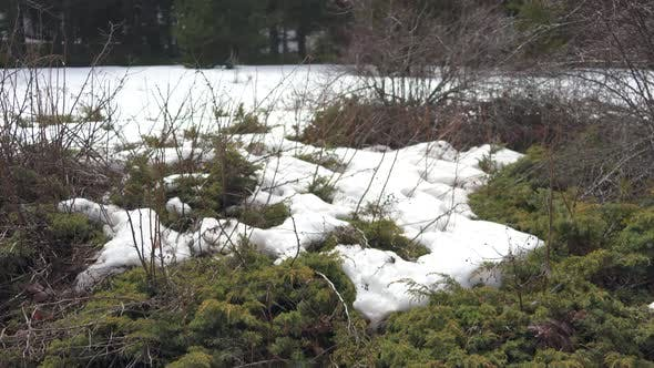 Thumbnail for Bushes in Snowy Forest in Spring