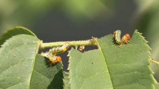 Thumbnail for Caterpillars