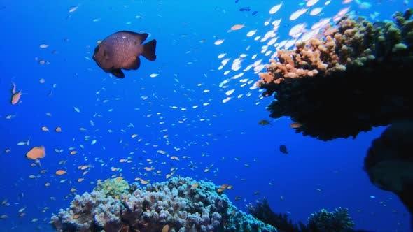 Thumbnail for Tropical Coral Garden Life