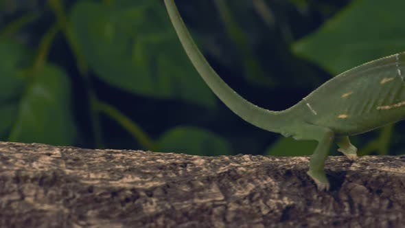 Thumbnail for Green Chameleon Standing On A Log