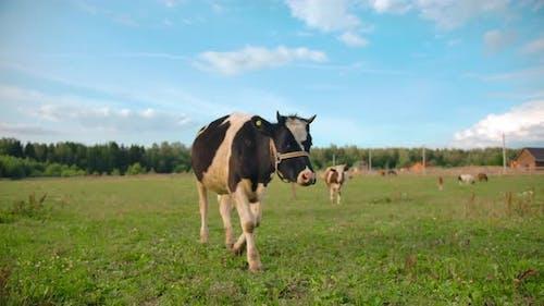 Cow Walking in Green Field