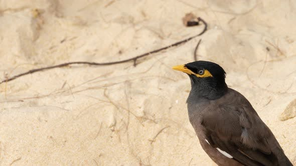 Cover Image for Common Myna -Acridotheres Tristis-