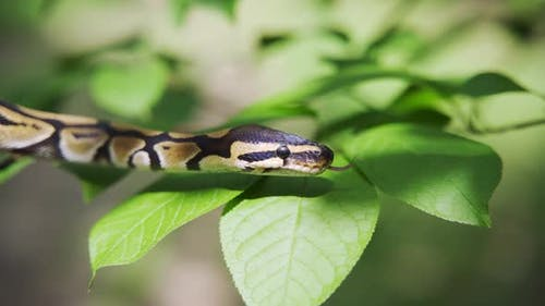 Calm Snake Among the Green Leaves of the Trees